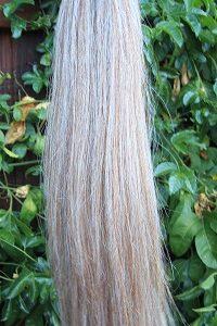 chestnut white blunt tail